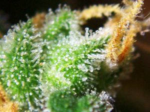 Cannabis Trichomes - Nature's Terpene Factories
