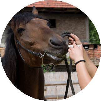 CBD Oil For Horses: Administering CBD oil with oral syringe