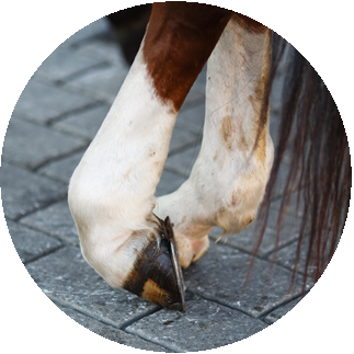 CBD Oil For Horses: Inflammation, Arthritis and Pain in horse's foot